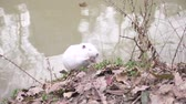 bóbr : Cute wild fluffy coypus , river rat, nutria, eats bread on the river bank. 4k, close-up, slow-motion. white coypus