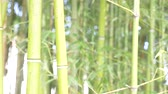 forest : Bamboo trees in a bamboo grove. 4k, slow motion