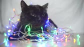 apathetic : black cat with a Christmas garland. 4k, slow motion