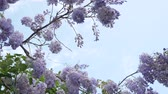 wisteria : 4k, Slow-motion shooting. spring blossoms. vines with flowers and leaves of violet wisteria. Sky clouds.