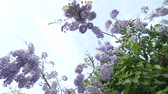 альпинист : 4k, Slow-motion shooting. spring blossoms. vines with flowers and leaves of violet wisteria. Sky clouds.