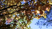 description : A beautiful autumn tree with yellow leaves against the blue sky. Moving camera. Slider. Stock Footage