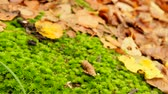 description : Autumn season on the floor is a lot of dry leaves. Moving camera. Slider. Defocusing of the camera.