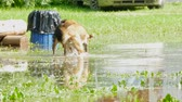 kaluž : Two stray dogs run and play in the water.