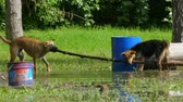 two dogs are dragging one big stick