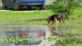 pooch : dogs are playing with a stick in a puddle.