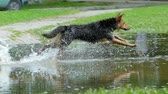 dogs frolic in the wet grass