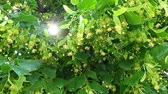 lipa : Sunlight through green leaves of tree. Beautiful sun rays. Linden tree with blooming flowers. Wind shakes branches Wideo