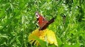 alado : Peacock butterfly collects nectar from dandelion flower. Movement of the proboscis. The camera pulling back