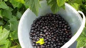 seau : Black currant harvesting. Female hand pouring a handful of berries into bucket. Top view