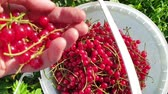 dortík : Red currant harvesting. Female hand pouring a handful of berries into bucket. Top view Dostupné videozáznamy