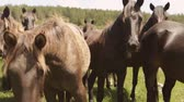 Horses in meadow.Horse herd on the pasture.Close-up of a penned herd of untamed horses in Bosnia. Wild horses near camera. Baby horse  foal  yearling  newborn horse in herd Stock Footage
