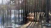 overflow pond : A cluster of trees surrounded by flooding Stock Footage