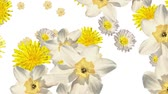 white narcissus : Mixed flowers falling down on white background. Blank white at the beginning and at the end. Narcissus, dandelions, primrose and daisy. White and yellow flowers. Stock Footage