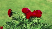 пион : red peony flowers swing on the wind outdoor