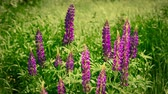 lupine : lupine flowers swing on the wind outdoor