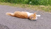 Red and white cat laying on the road. Dostupné videozáznamy