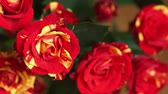 düğün : Bouquet of beautiful red yellow roses close-up Stok Video
