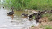 cheaper : Group of ducklings and duck go for a walk along the beach leaving the lake