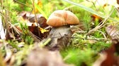 leccinum : Boletus (Leccinum) with an orange hat grows among moss, dry leaves and branches in the autumn forest.
