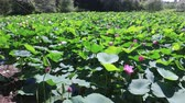 Blooming lotuses on the lake, shooting from left to right. Stock Footage