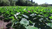 Blooming lotuses on the lake. Stock Footage