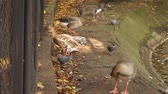 Birds walk around the pond in the city Park. Stock Footage