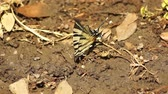tigris : Tiger Swallowtail butterfly (Papilio glaucus) on the ground in garden