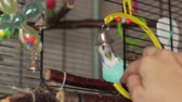 papagaio : Woman playing with blue budgie and little bell