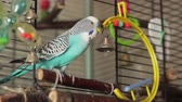 papuga : Blue budgerigar flew into the bell