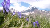 пики : closeup of mountain flowers sway in the wind on a background of mountain peaks