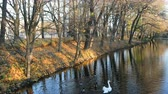 приозерный : A flock of white swans floating on the water canal in the autumn Park