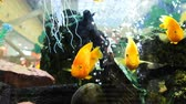zakupy : Yellow fish float in an aquarium in a shopping center, 4k.