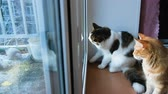 observação de aves : Two cats look out the window at the birds, cats want to attack the birds, scrape the window, 4k
