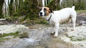 thirst quenching : A small dog jack russell terrier drinks water from a mountain stream, 4k. Stock Footage