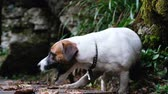 cão de caça : Funny little dog jack russell terrier in the woods is played with a stick close up, 4k. Vídeos