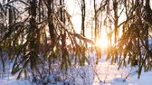 страна чудес : Camera movement from left to right, the rays of the setting sun Shine through the spruce branches, slow motion