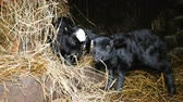 ovelha : Two cute black lambs chew hay in a stable, 4k