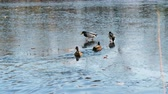 ploutve : Ducks walk on ice and swim in the lake in the autumn