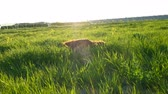 setter : Cheerful active dog lying in the grass at sunset in the summer. Irish setter tumbling on nature chewing grass and flowers