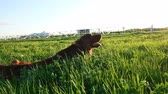 долго : Cheerful active dog lying in the grass at sunset in the summer. Irish setter tumbling on nature, slow motion Стоковые видеозаписи