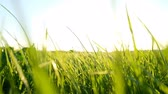 patlamak : Grass swayed in the wind in the rays at sunset, slow motion
