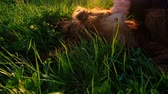 setter : Woman combing her stomach to a dog lying in the grass at sunset, a reflex with a hind paw