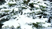 ель : Very snowy fir trees in the winter forest, the camera moves from bottom to top close-up