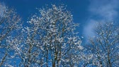 холодный : Beautiful snowy trees against the blue sky in winter, snowy tree branches