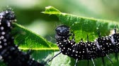 naturalistic : Black caterpillar of the peacock eye sits and eats a green leaf, macro. Slow motion