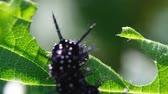 naturalistic : Black caterpillars eat green leaf, macro. Slow motion. Stock Footage