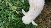 млекопитающие : Small white lamb eats grass close up