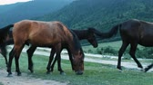 çiğneme : Herd of horses is grazing in the fields near the road in the mountains. Horses chew the grass