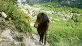 prasowanie : Brown wild horse stands in the mountains close-up